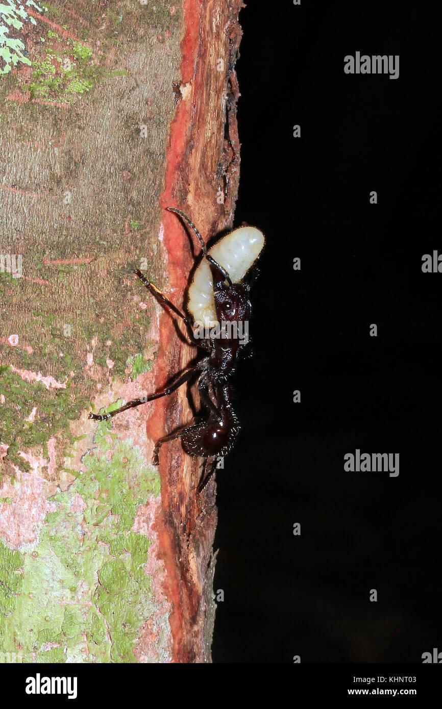 Bullet Ant Carrying an Egg along a Branch. Amazon Rainforest, Brazil - Stock Image