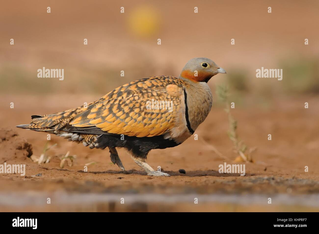 The male of Black-bellied Sandgrouse (Pterocles orientalis) sitting next to the desert pool to drink water from - Stock Image