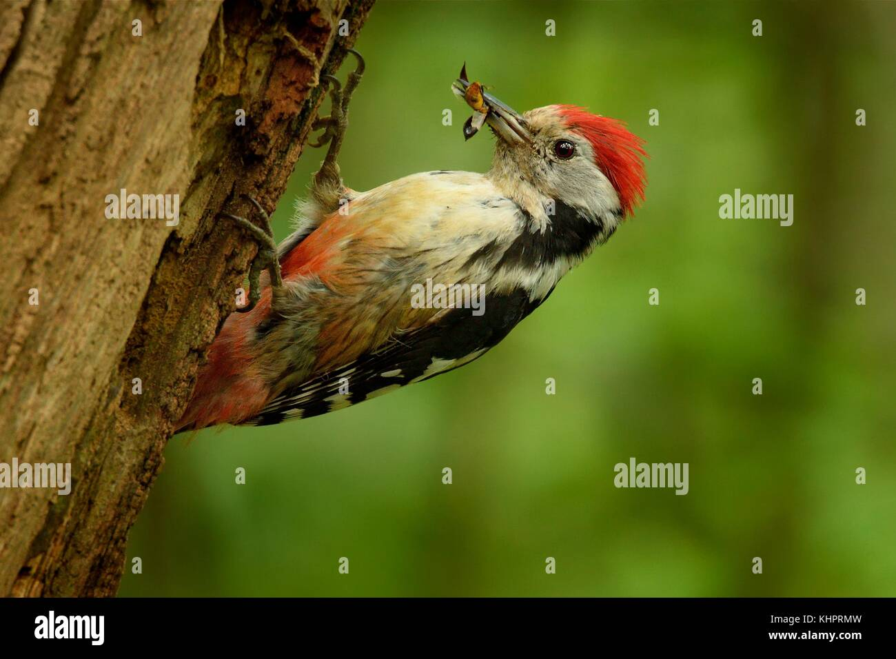 Middle Spotted Woodpecker - Dendrocopos medius sitting on the tree trunk with full beak of the feeding, green forest - Stock Image