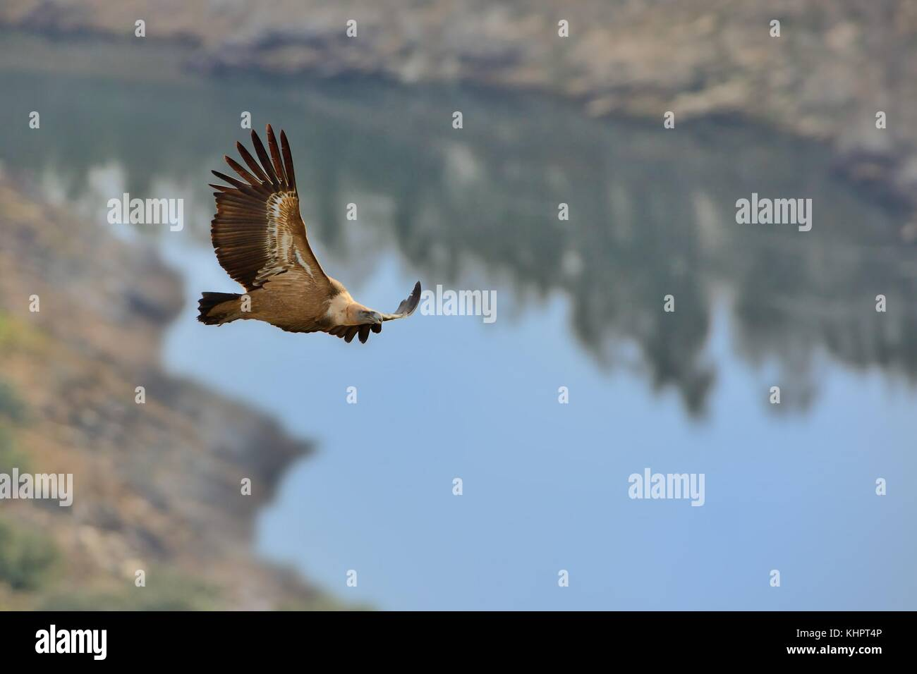 Eurasian Griffon (Gyps fulvus) flying above the lake between mountains. - Stock Image