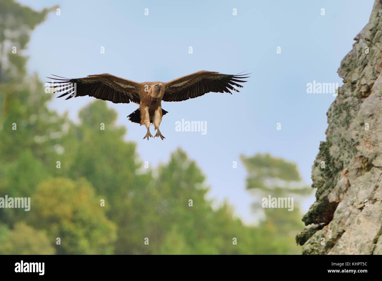 Eurasian Griffon (Gyps fulvus) captured in flight. - Stock Image