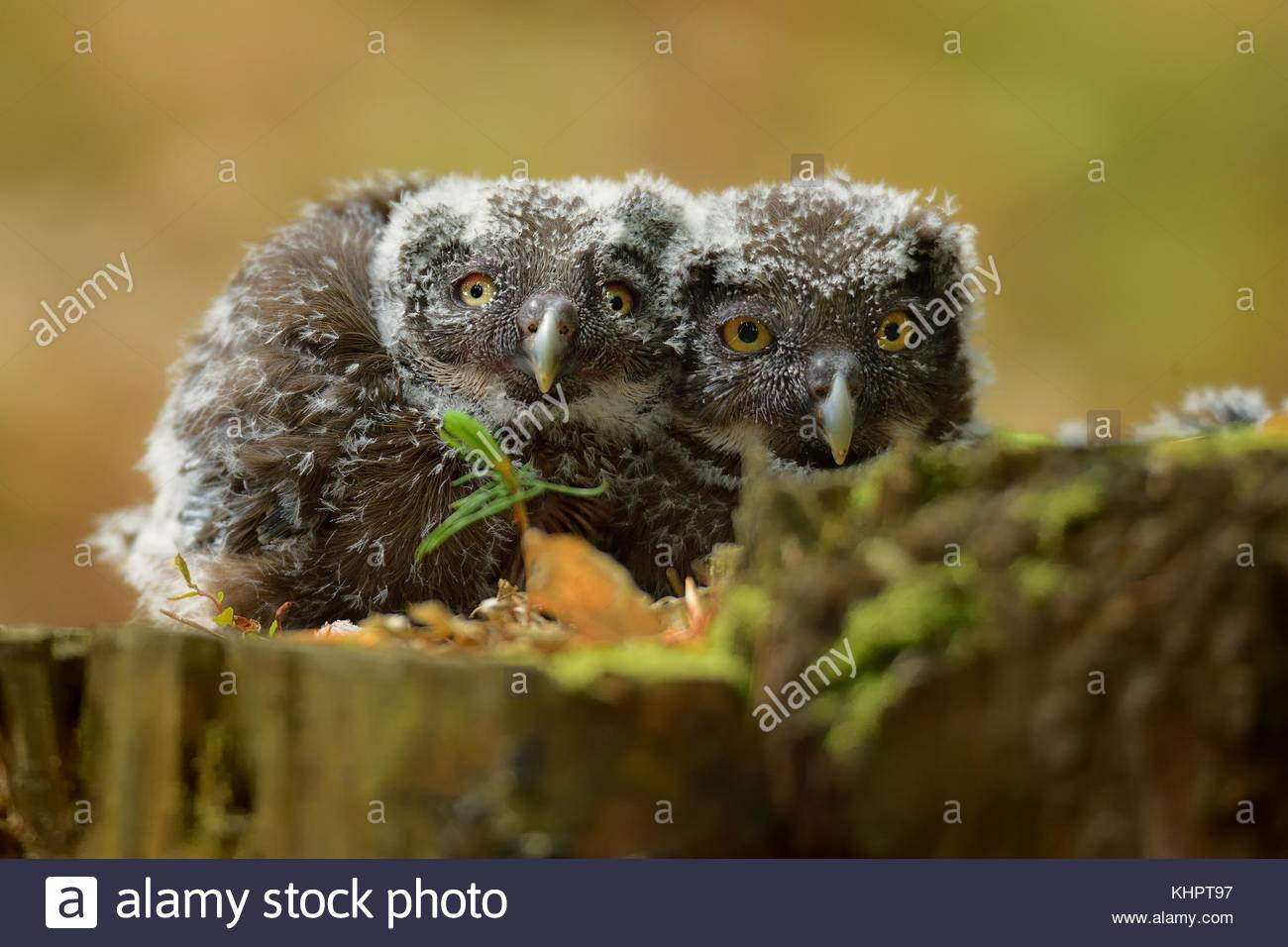 Aegolius funereus - Boreal Owl - nestling (young birds) on the tree stump - Stock Image