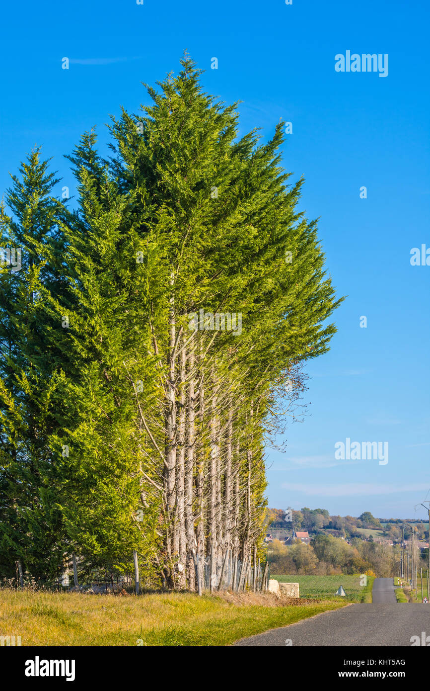 Lopped evergreen trees at edge of road - France. - Stock Image