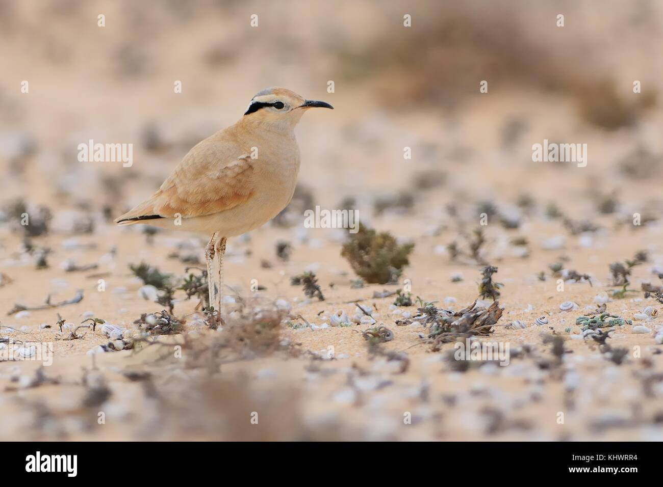 Cursorius cursor - Cream-colored Courser in the desert (semi-desert) of Fuerteventura (Canary Islands) - Stock Image