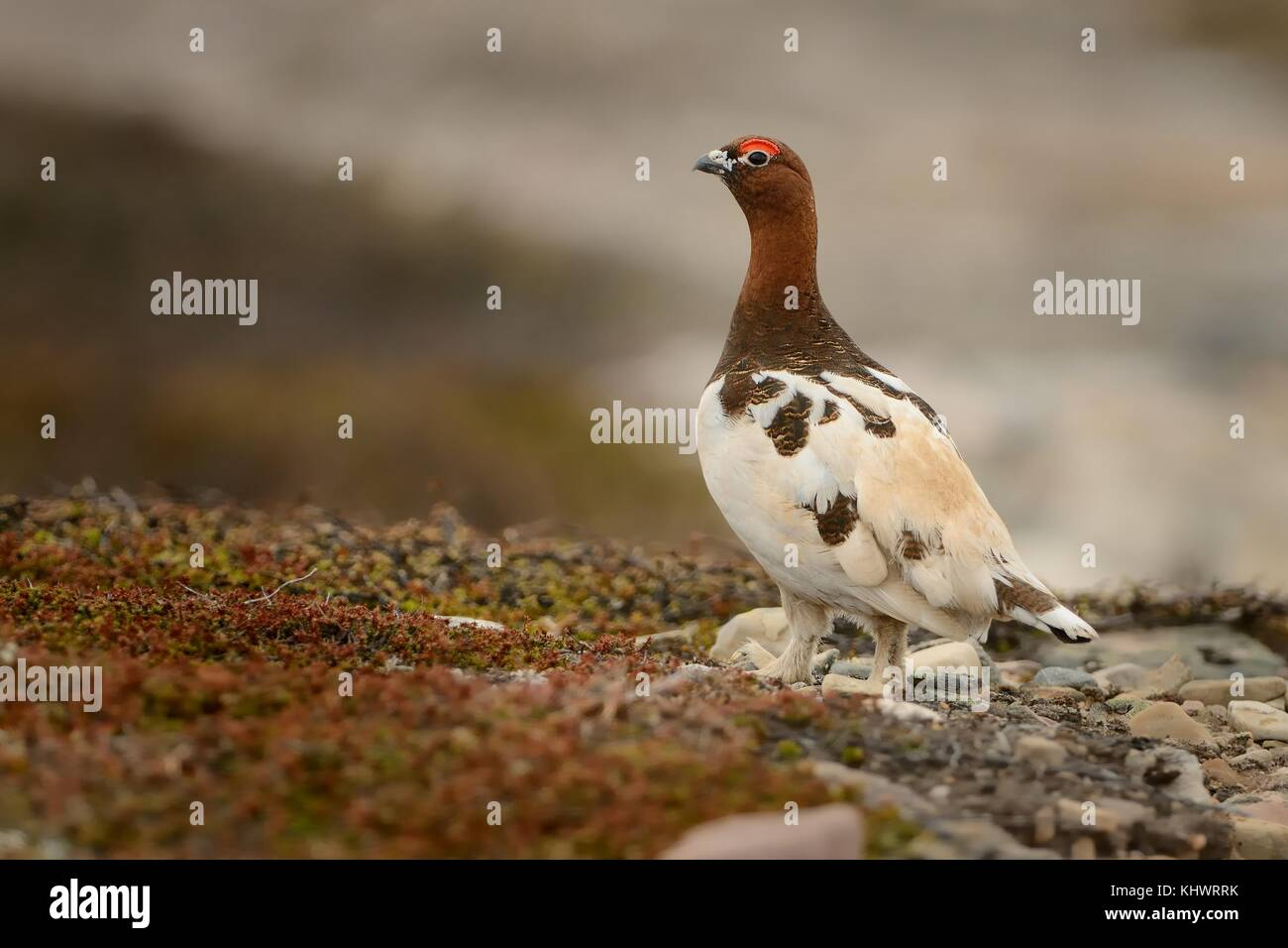 Willow Ptarmigan in the norwegian tundra. - Stock Image