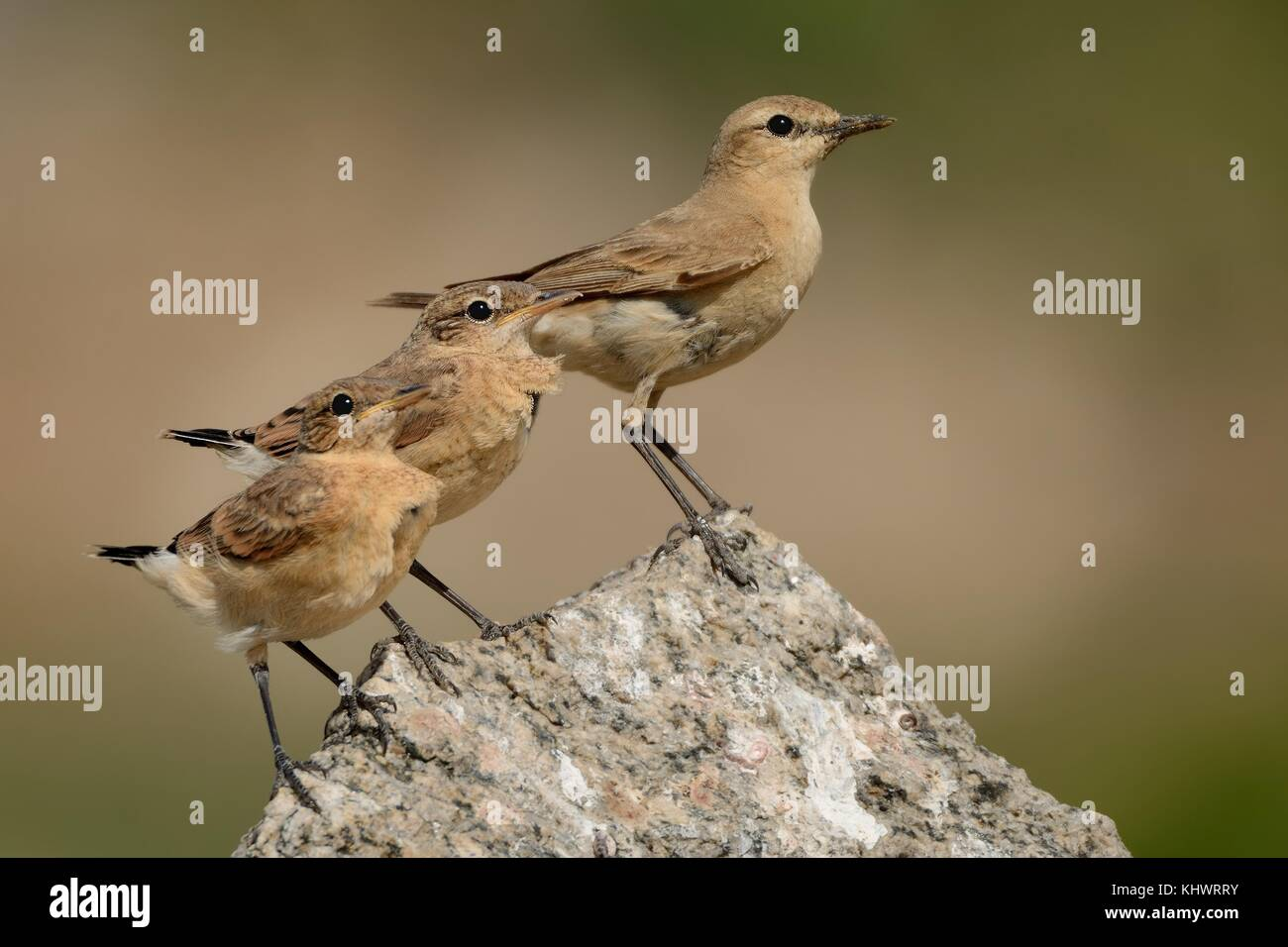 Isabelline Wheatear - Oenanthe isabellina male with his chicks during the first day out of the nest. - Stock Image