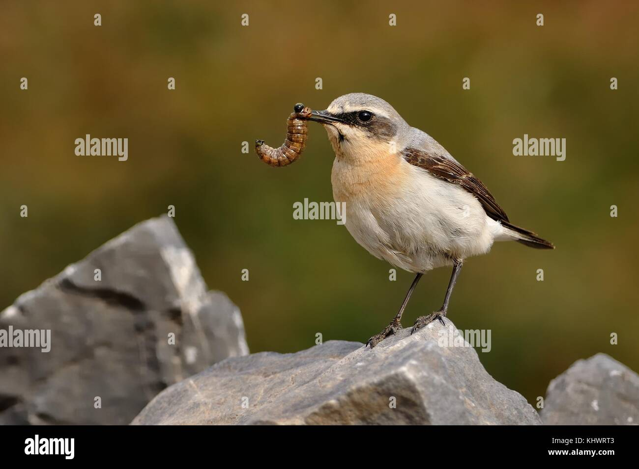 Northern Wheatear (Oenanthe oenanthe) with the caterpillar during its chicks feeding. Sitting on the stone on rocky - Stock Image