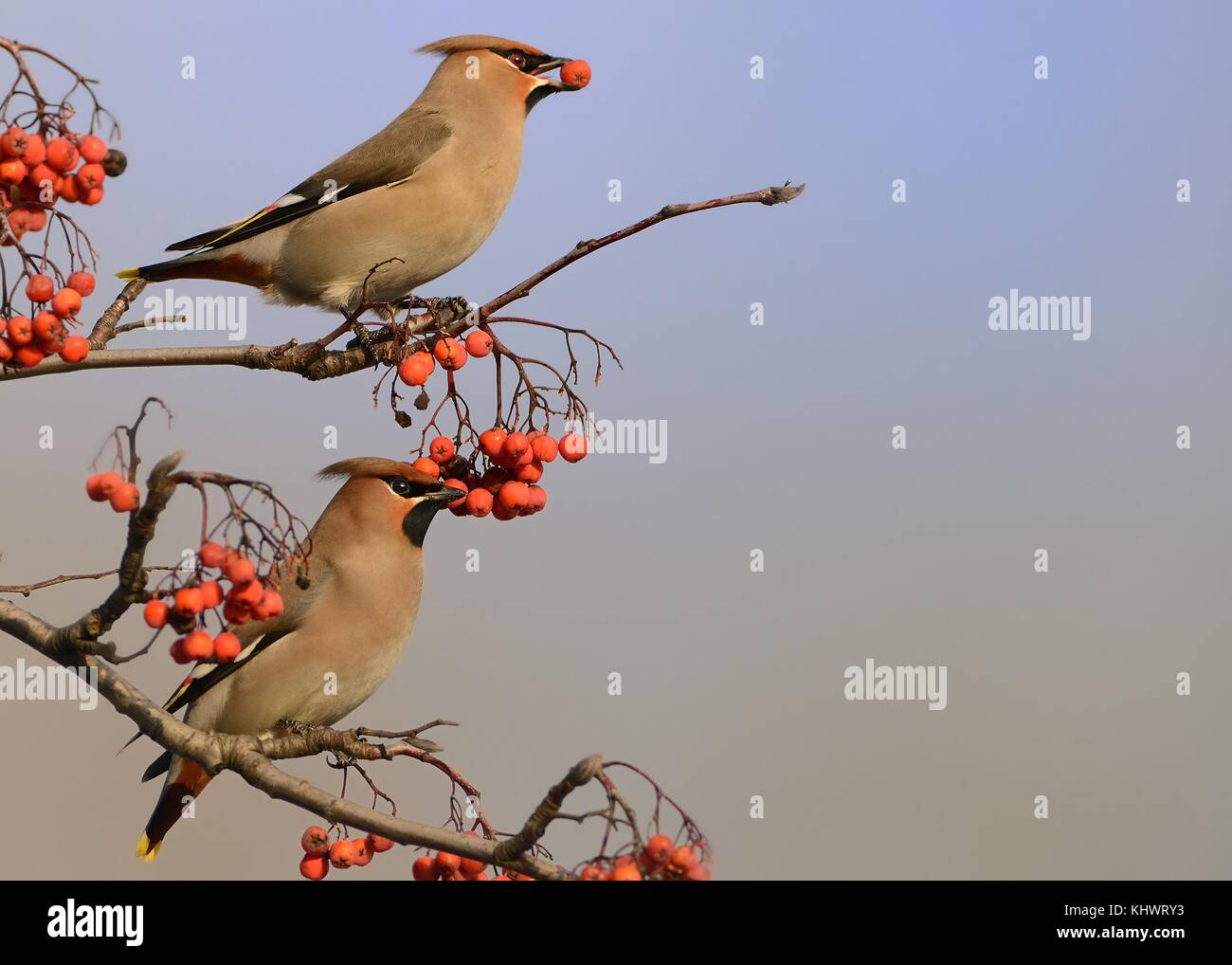 Bohemian Waxwing - Bombycilla garrulus, two waxwings on the rowan tree in winter. - Stock Image