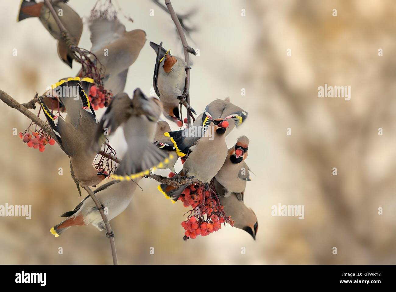 'Bohemian Waxwing - Bombycilla garrulus, the flock of the waxwings on the rowan tree in winter. - Stock Image
