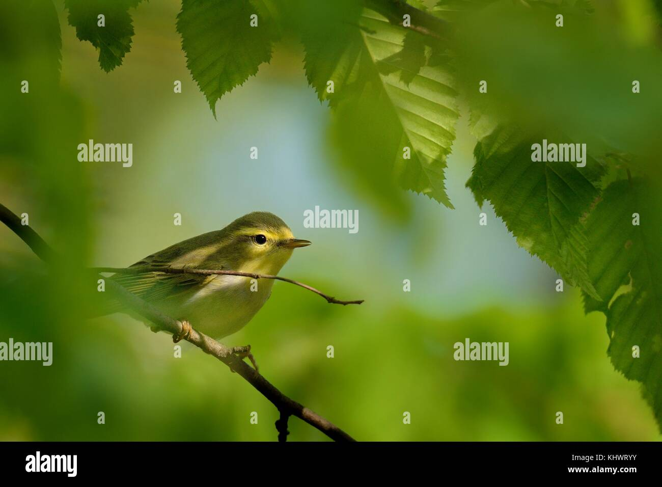 Wood Warbler - Phylloscopus sibilatrix is perching on the branch. Small forest bird sitting on the branch with green - Stock Image