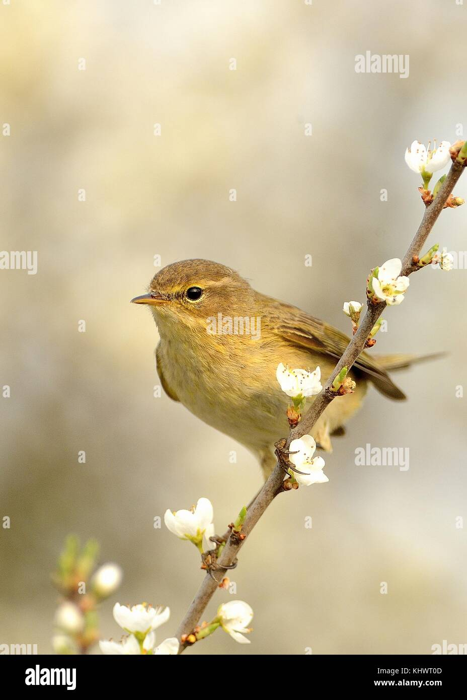 Common Chiffchaff (Phylloscopus collybita) sitting on the blooming branch with flowers, light (white) background, - Stock Image