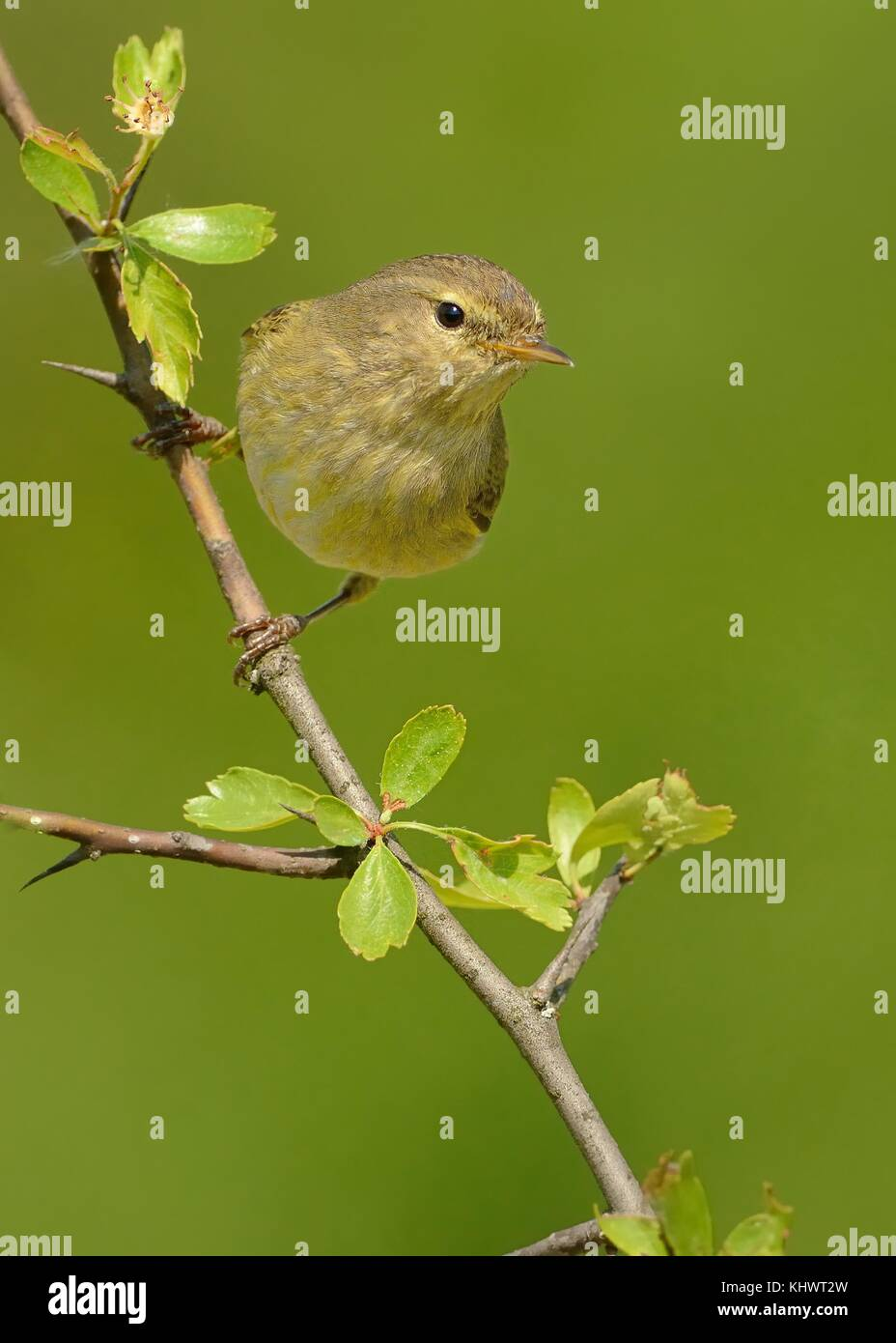 Common Chiffchaff (Phylloscopus collybita) sitting on the spring branch, green isolated background, portrait - Stock Image