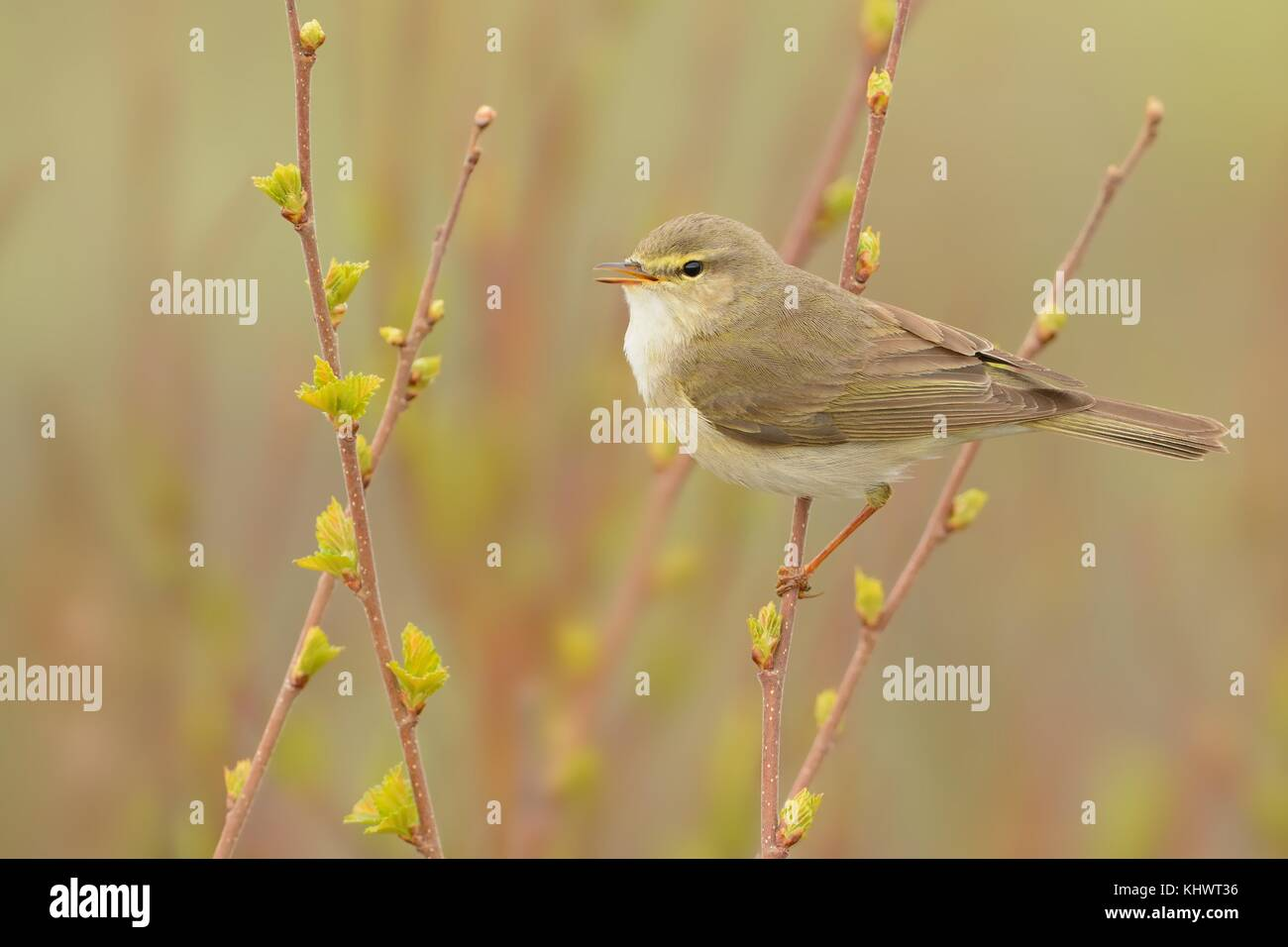 Willow Warbler (Phylloscopus trochilus) sitting on the willow. Little songbird in the scrub. Light spring. - Stock Image