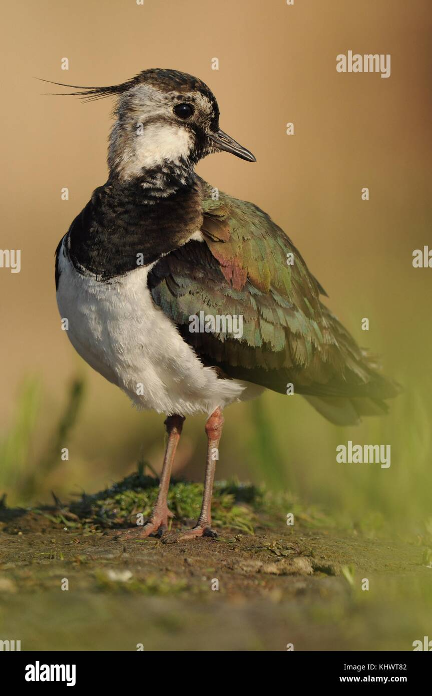 Northern Lapwing - Vanellus vanellus portrait stying in the water soon in the morning - Stock Image