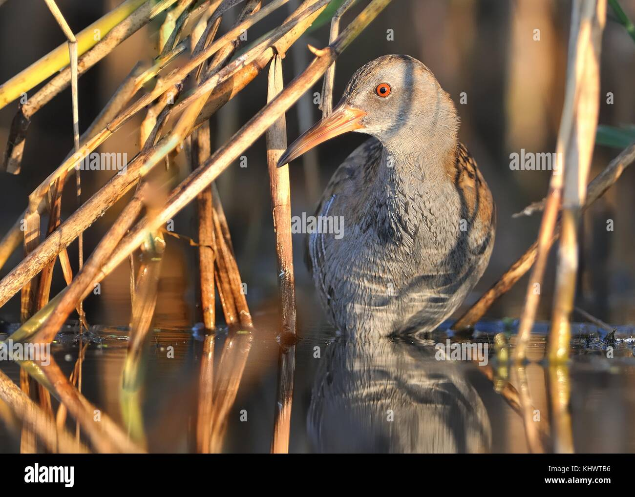 Water Rail - Rallus aquaticus looking for feeding - Stock Image