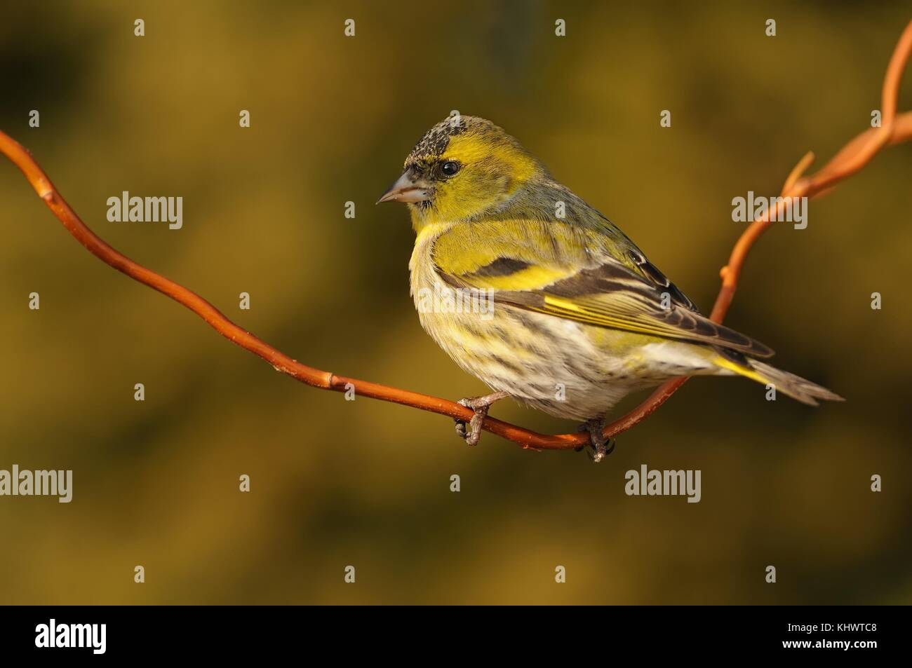 Eurasian Siskin - Spinus spinus sitting - female on the branch in the morning with the first sun beams (rays) - Stock Image