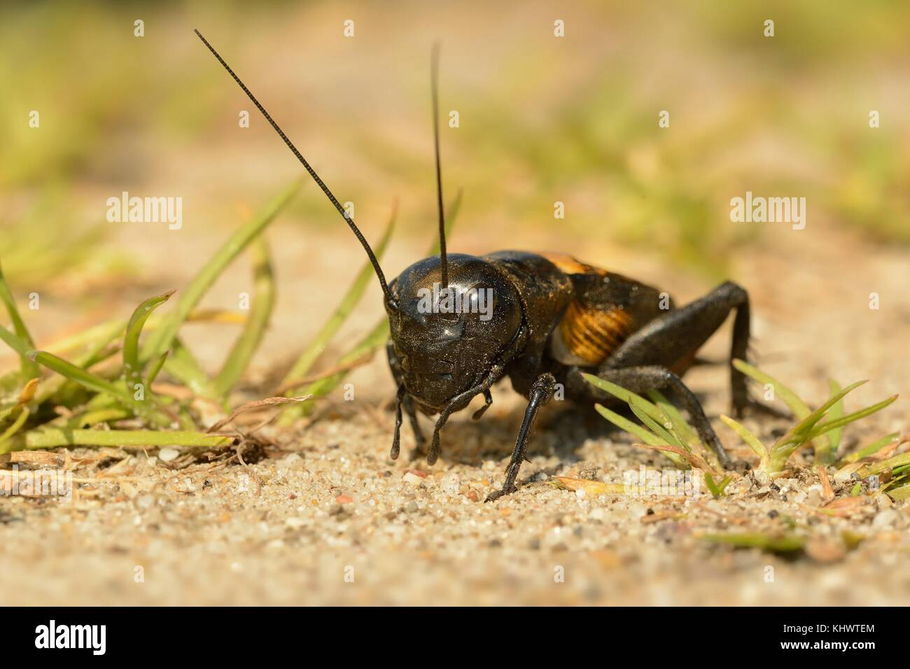 The field cricket - Gryllus campestris on the eath. Black cricket on the brown bright clay. - Stock Image