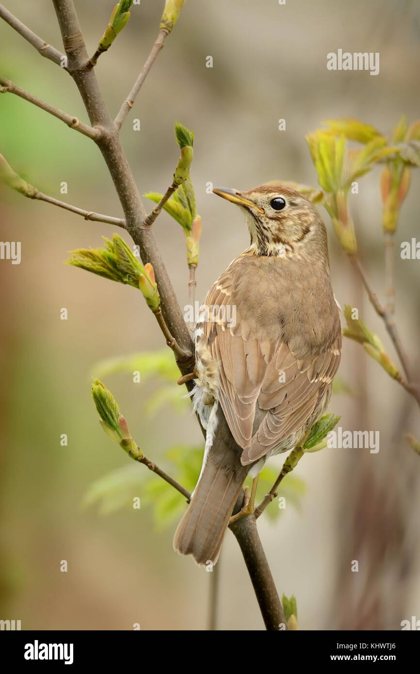 Song Thrush - Turdus philomelos sitting on the branch next to the nest - Stock Image