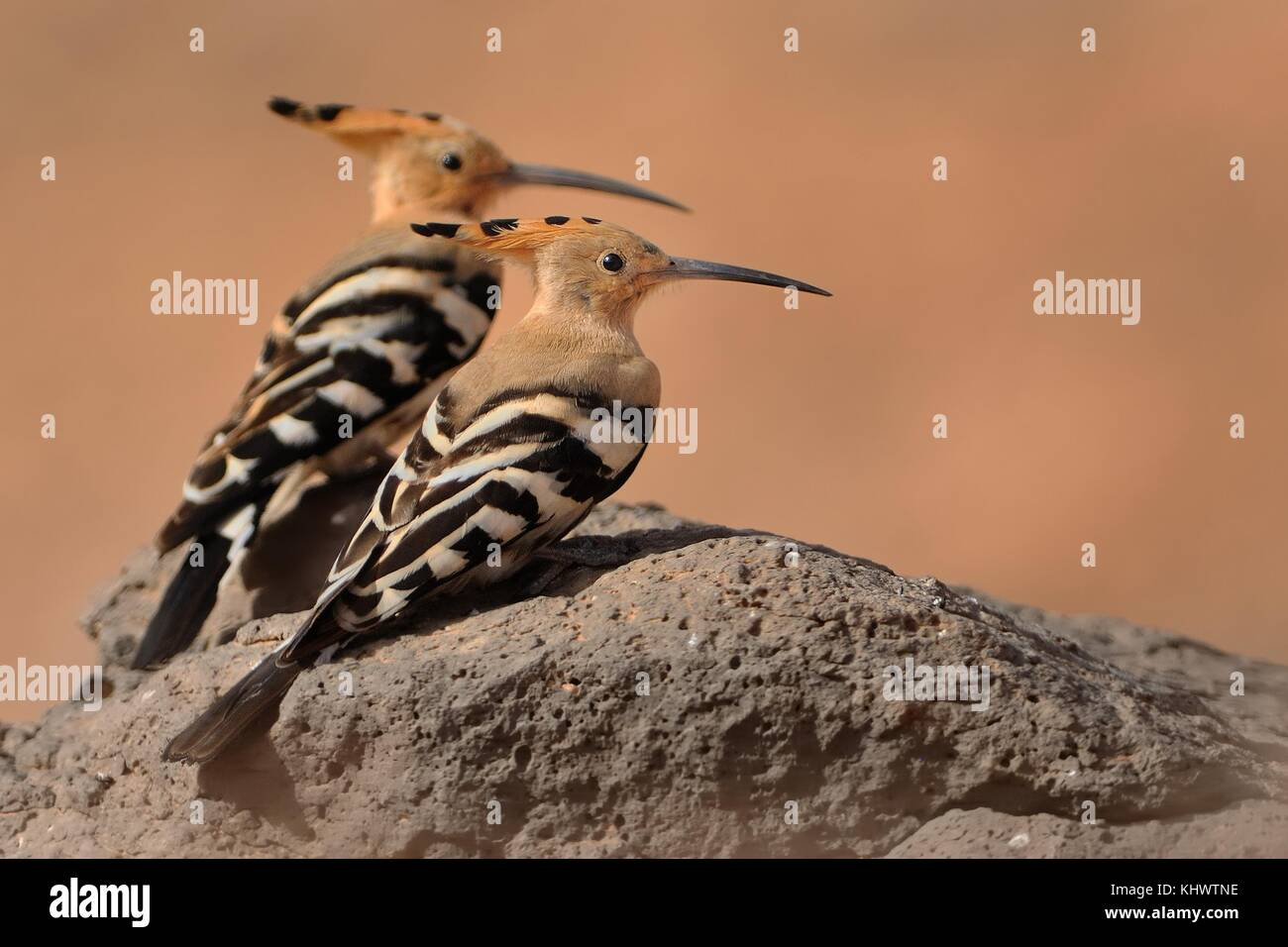 Eurasian Hoopoe - Upupa epops the pair sitting on the rock - Stock Image