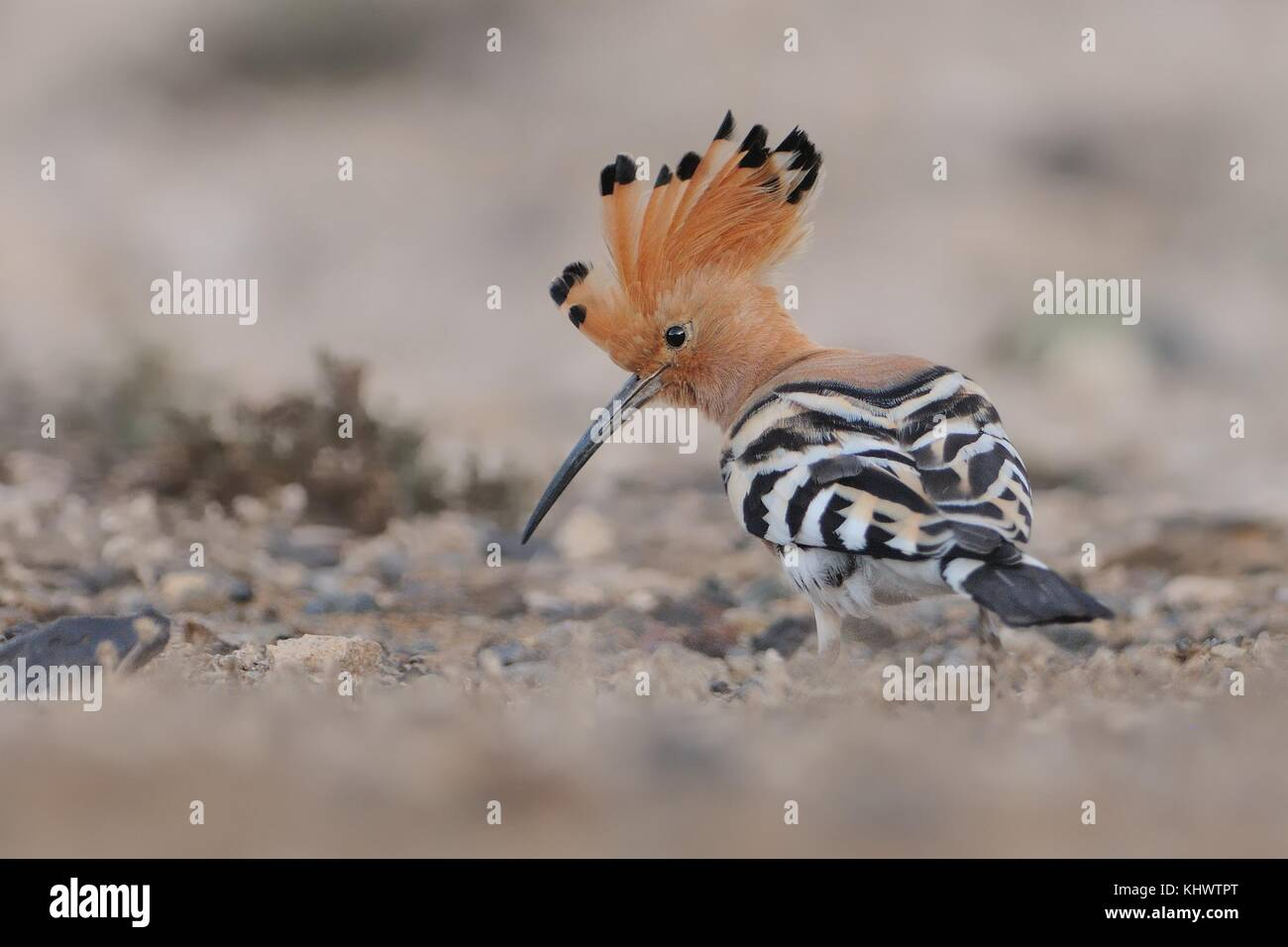 Eurasian Hoopoe - Upupa epops sitting on the ground and feeding - Stock Image