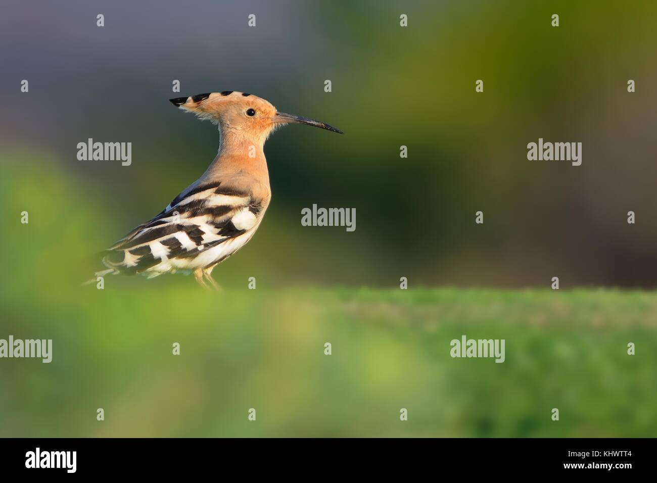 Eurasian Hoopoe - Upupa epops sitting on the golf playground, green - Stock Image