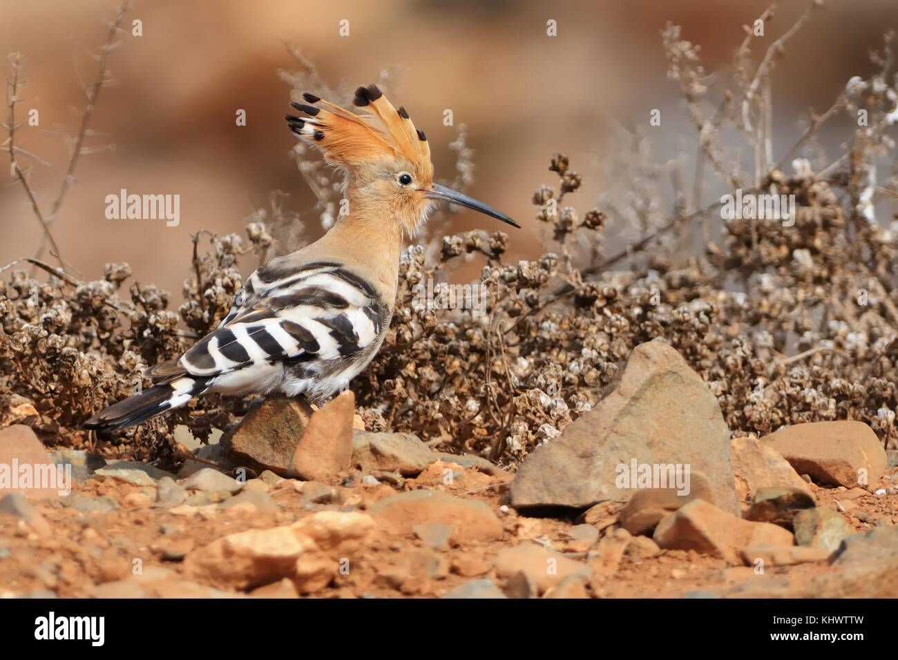 Eurasian Hoopoe - Upupa epops sitting on the ground - Stock Image