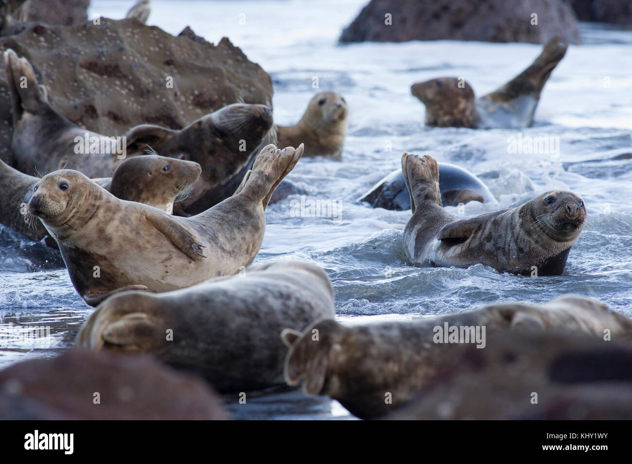 Grey Seals (Halichoerus grypus) on the rocky beach below Ravenscar at Robin Hoods Bay, Whitby on the North Yorkshire - Stock Image