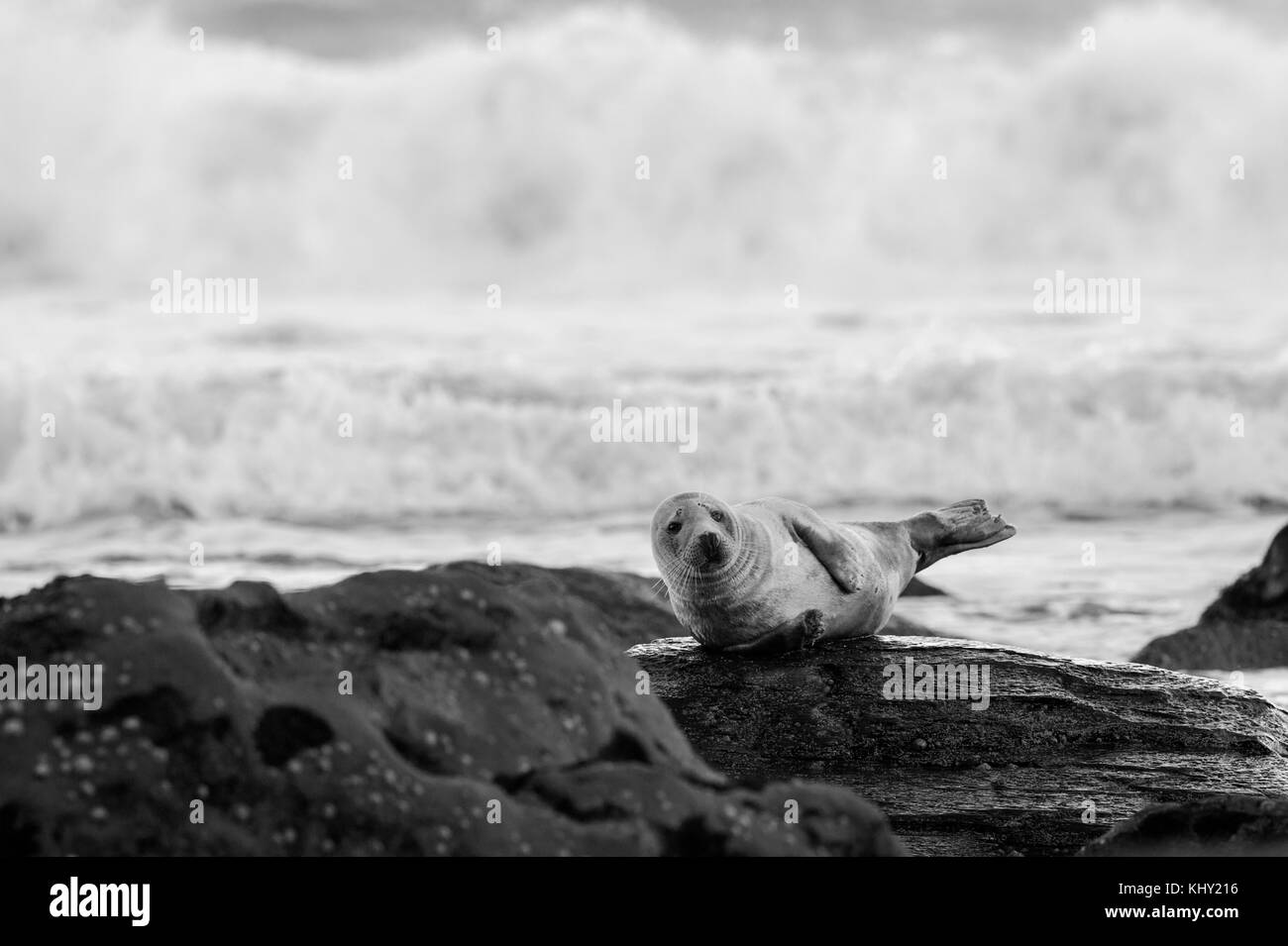 A Grey Seal (Halichoerus grypus) on the rocky beach below Ravenscar at Robin Hoods Bay, Whitby on the North Yorkshire - Stock Image