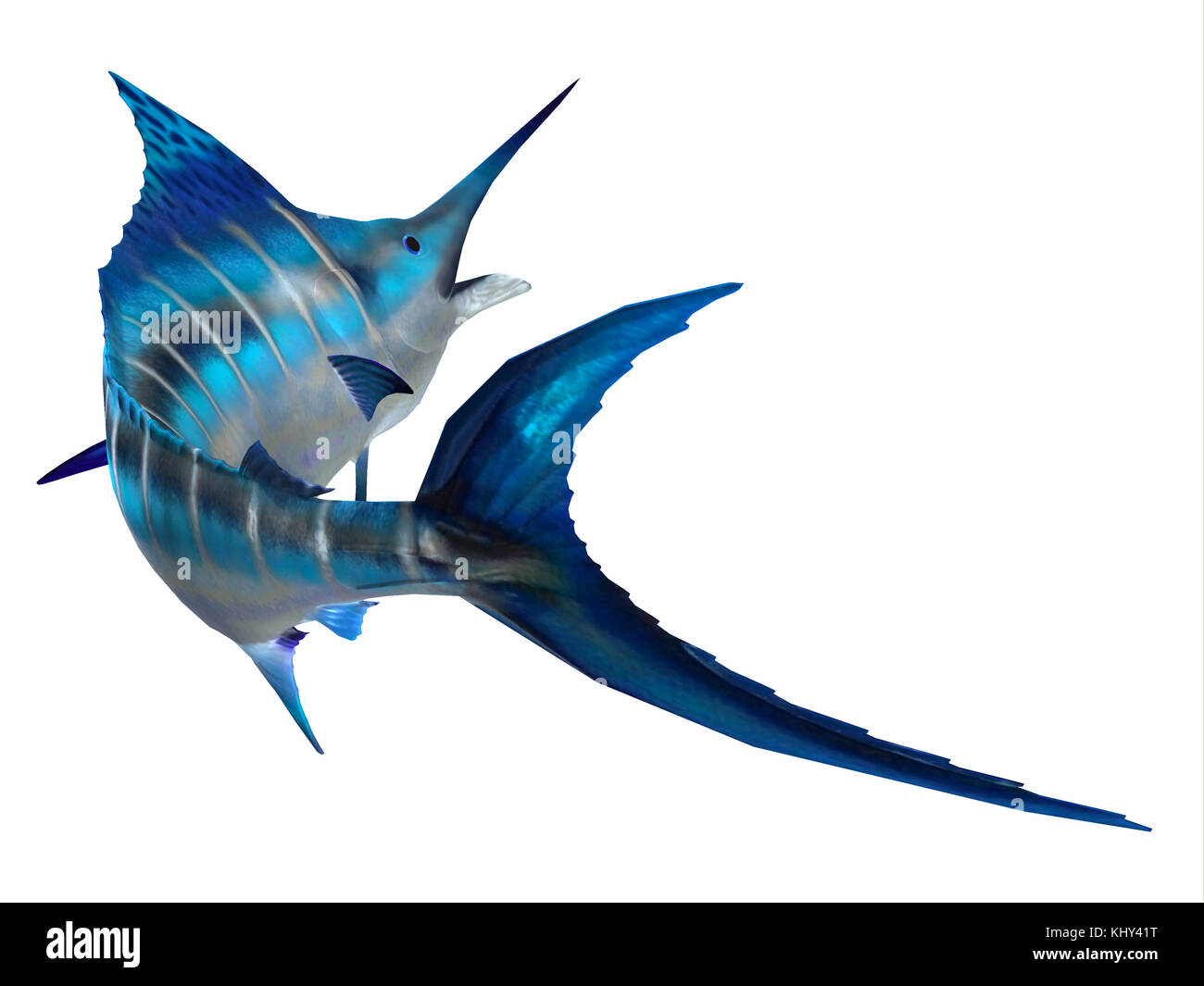 Marlin Fish Tail - The Atlantic Blue Marlin fish is the largest bony fish and is a popular game fish in the Atlantic - Stock Image