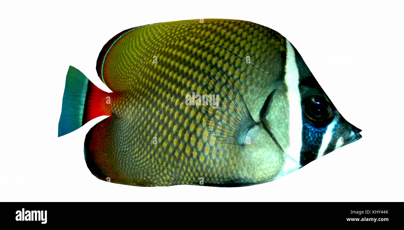 Redtail Butterflyfish - The Redtail Butterflyfish is a saltwater species reef fish in tropical regions of Indo-Pacific - Stock Image
