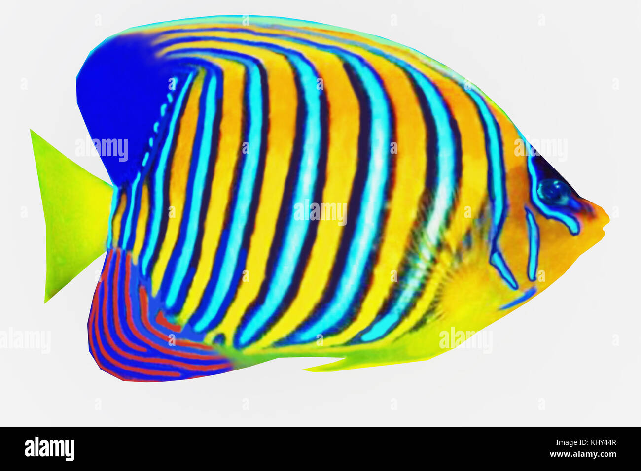 Regal Angelfish - The Regal Angelfish is a saltwater species reef fish in tropical regions of Indo-Pacific oceans. - Stock Image