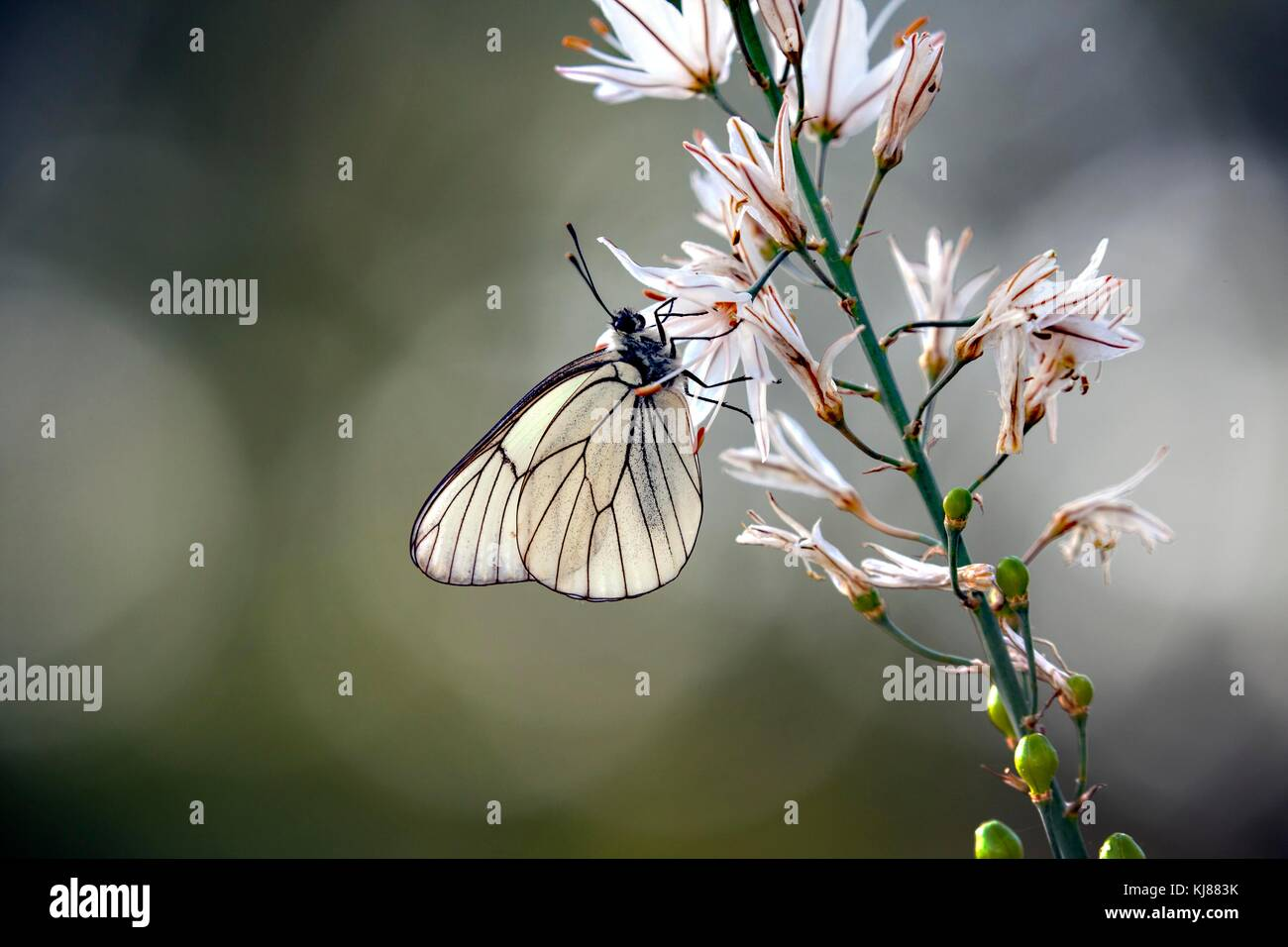 Black-veined White butterfly Aporia crataegi basking in the sun on a flowerhead  at Riaza in central Spain Stock Photo