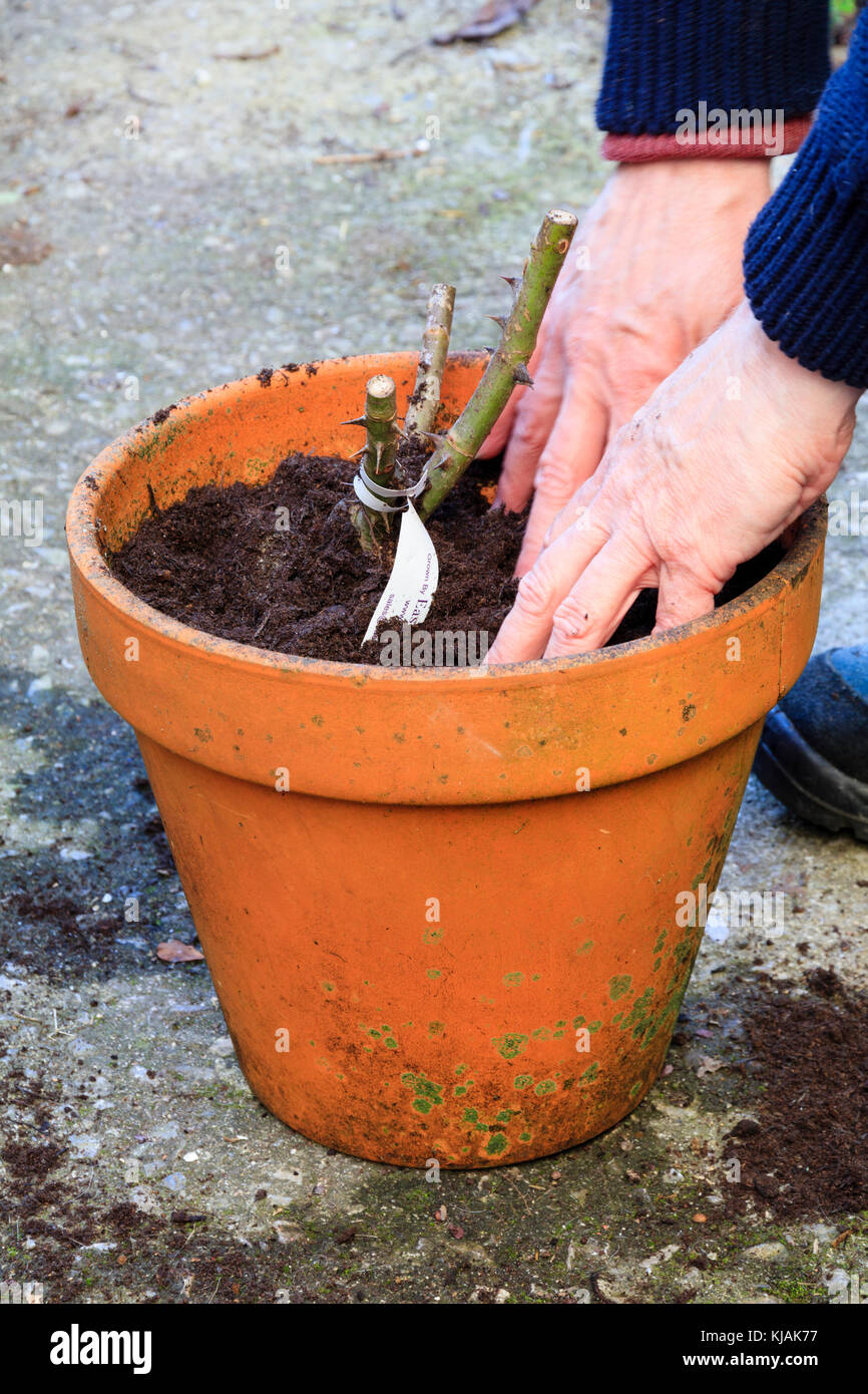 Firming the compost around the bare roots of an Autumn potted rose Stock Photo