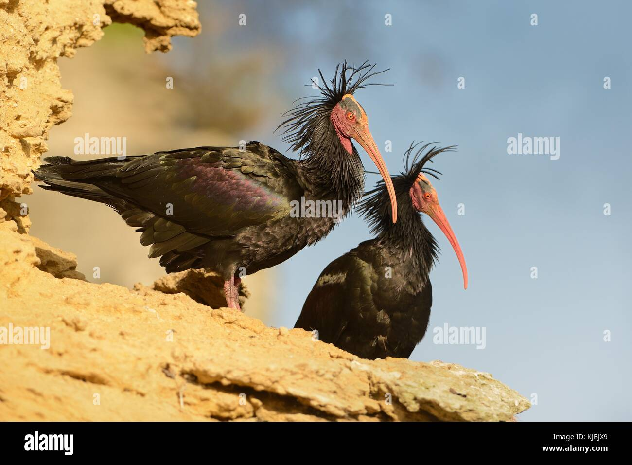 Two black Walldrapps (Geronticus eremita) with pink skinny beaks sitting on the rock in Spain with blue background. - Stock Image