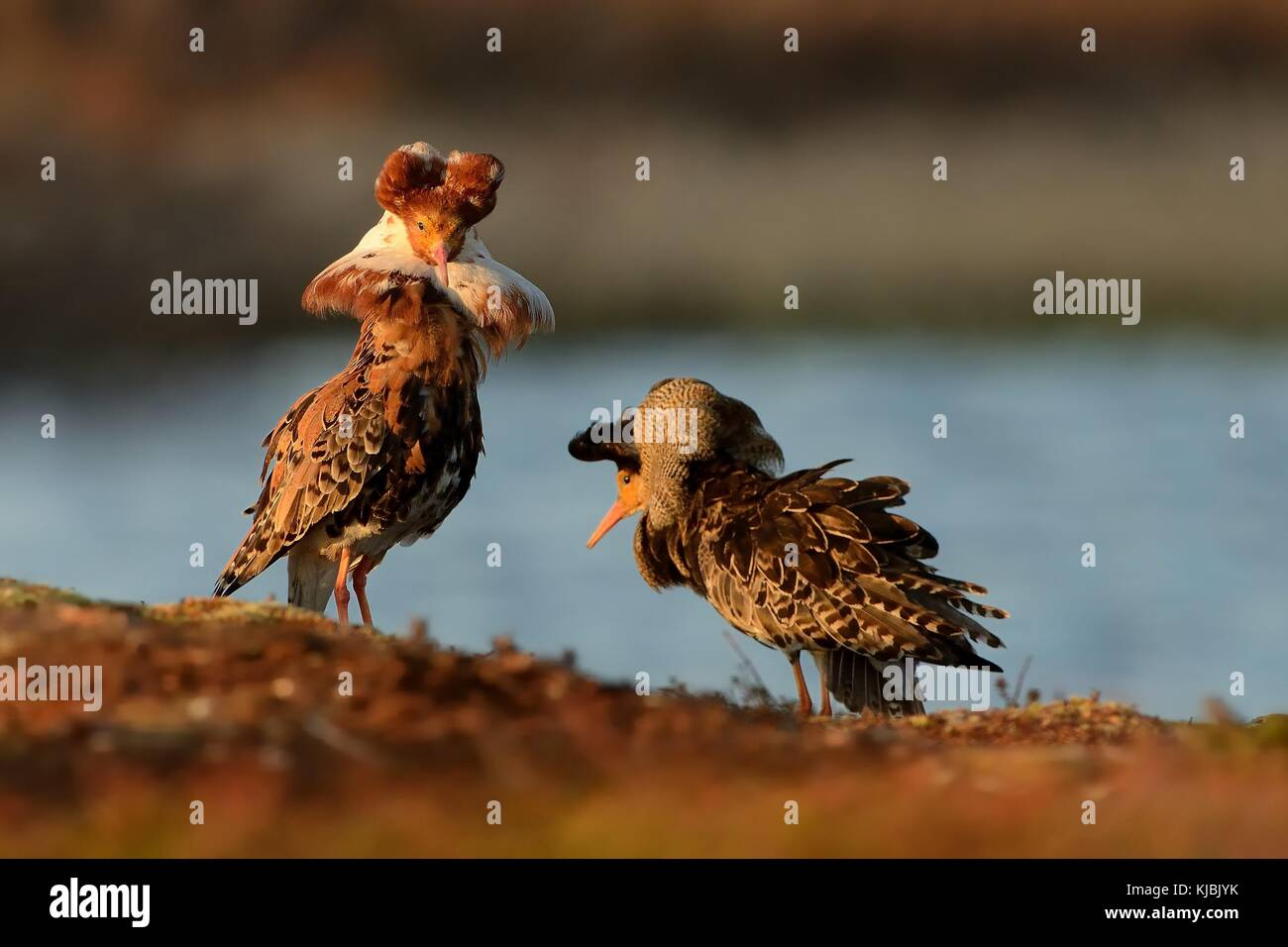 Ruff - Philomachus pugnax male flying in breeding plumage in the lek in Norway. - Stock Image