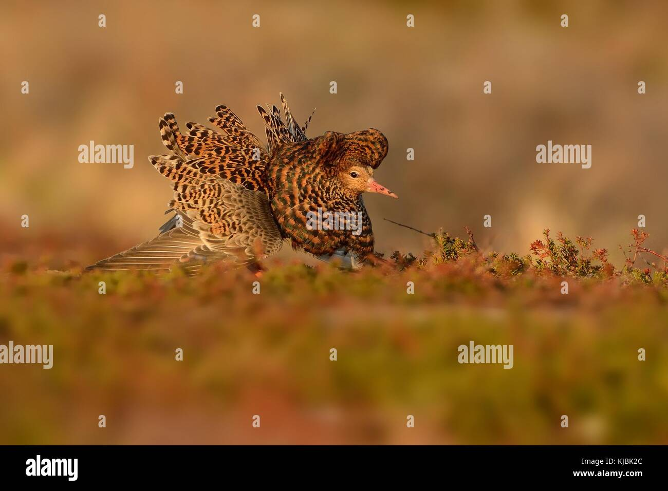 Ruff - Philomachus pugnax in the lek in Norway. - Stock Image