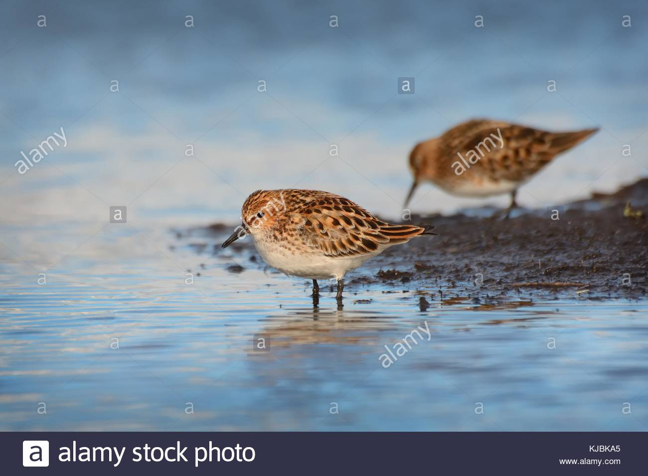Two Little Stints (Calidris minuta) wading in shallow water with beautiful blue background. - Stock Image