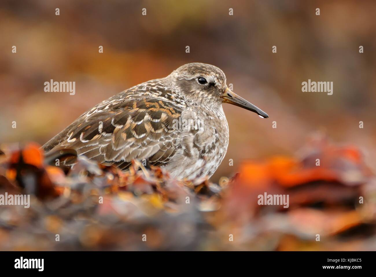 Purple Sandpiper sitting on the red algae in the seacoast. - Stock Image