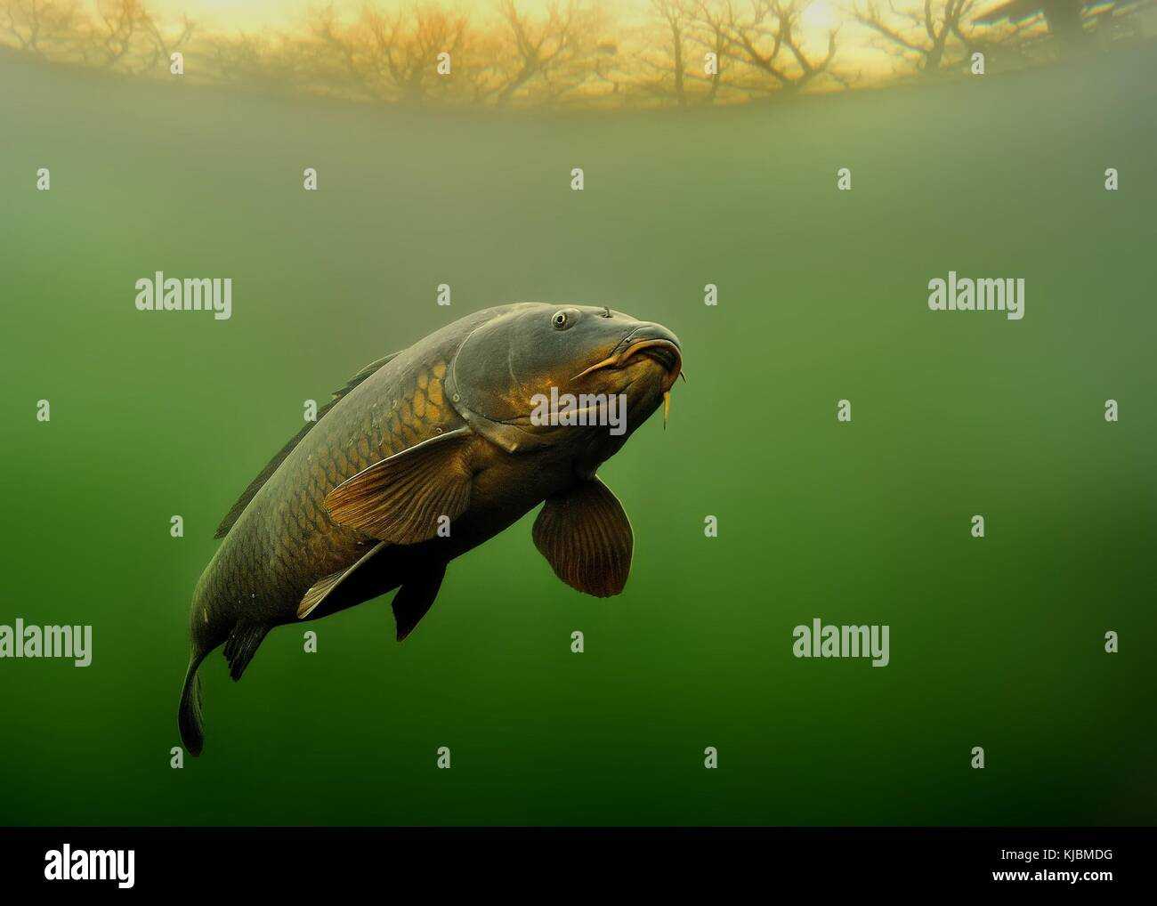 Common Carp - Cyprinus carpio under water with beautiful background. - Stock Image