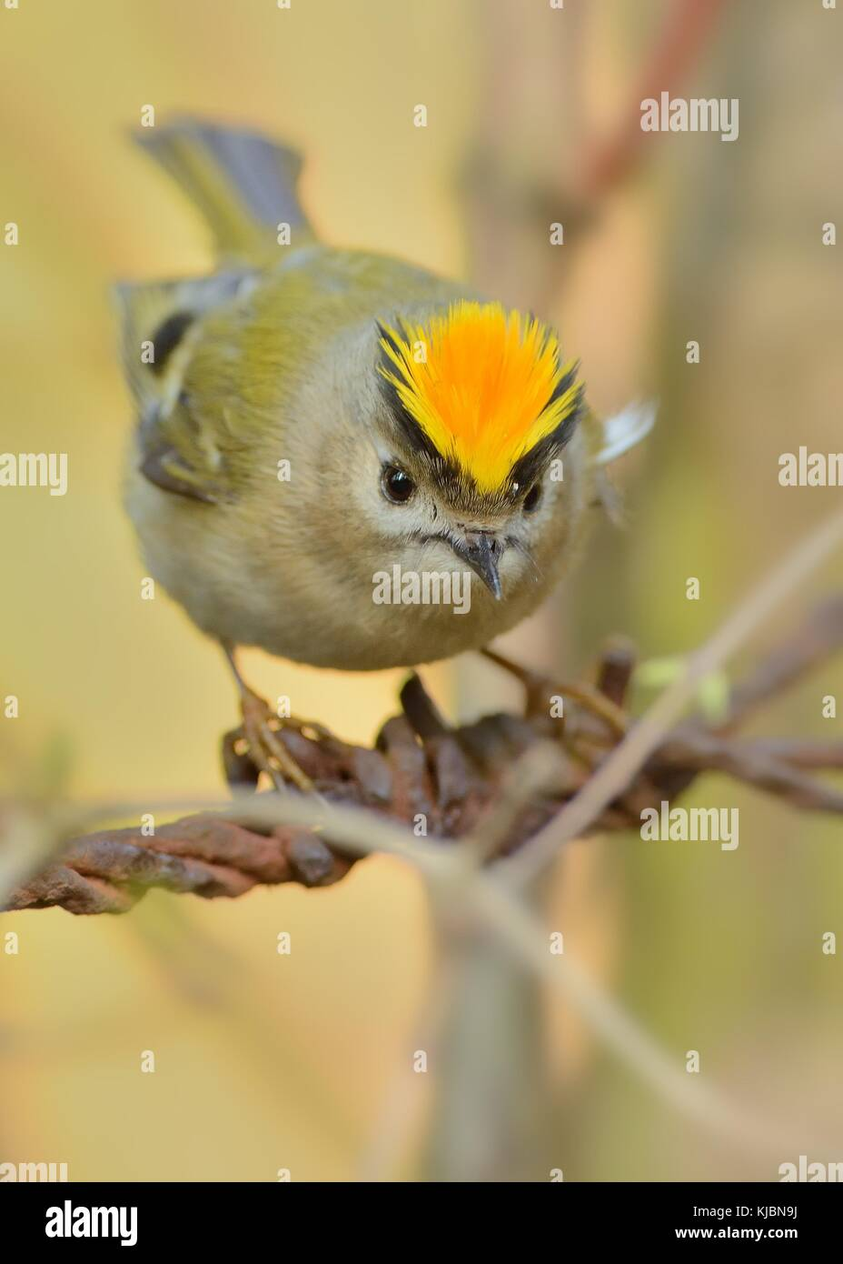 Goldcrest - Regulus regulus sitting on the branch and showing the crest - Stock Image