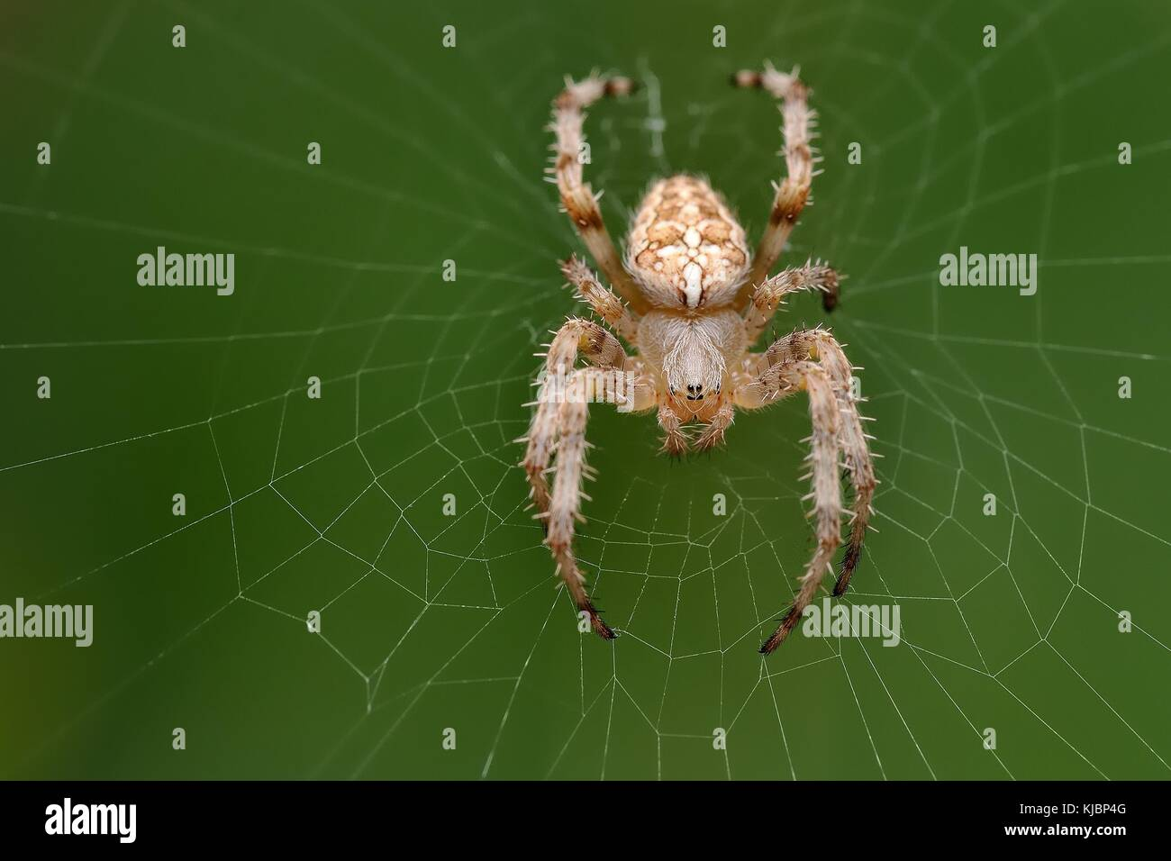 The european garden spider (Araneus diadematus) sitting in the spider net with green background. Big brown, light - Stock Image