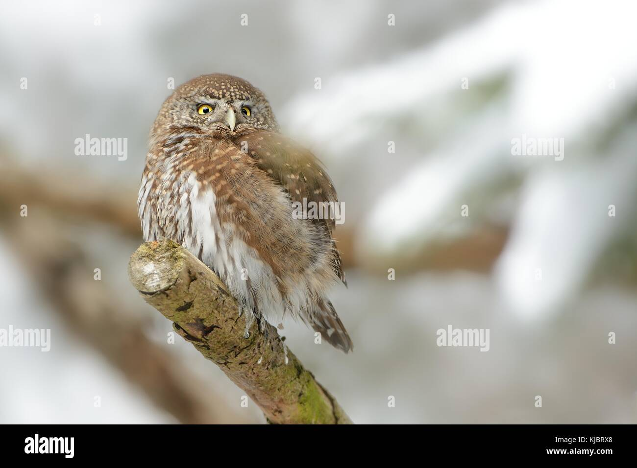 Eurasian Pygmy-Owl sitting on the branch in the forest in winter. - Stock Image