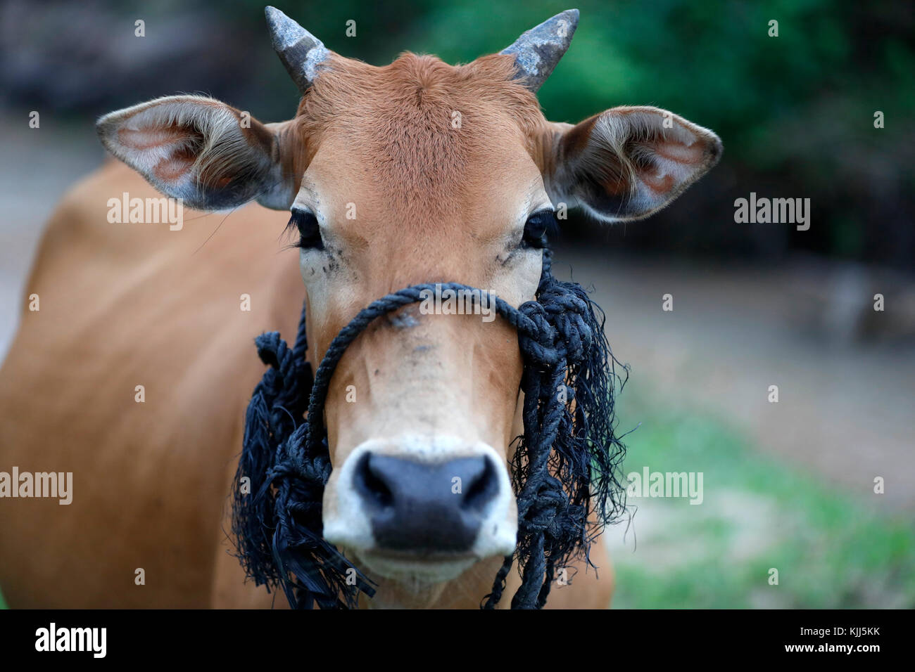 Close-up of a cow. Kon Tum. Vietnam. - Stock Image