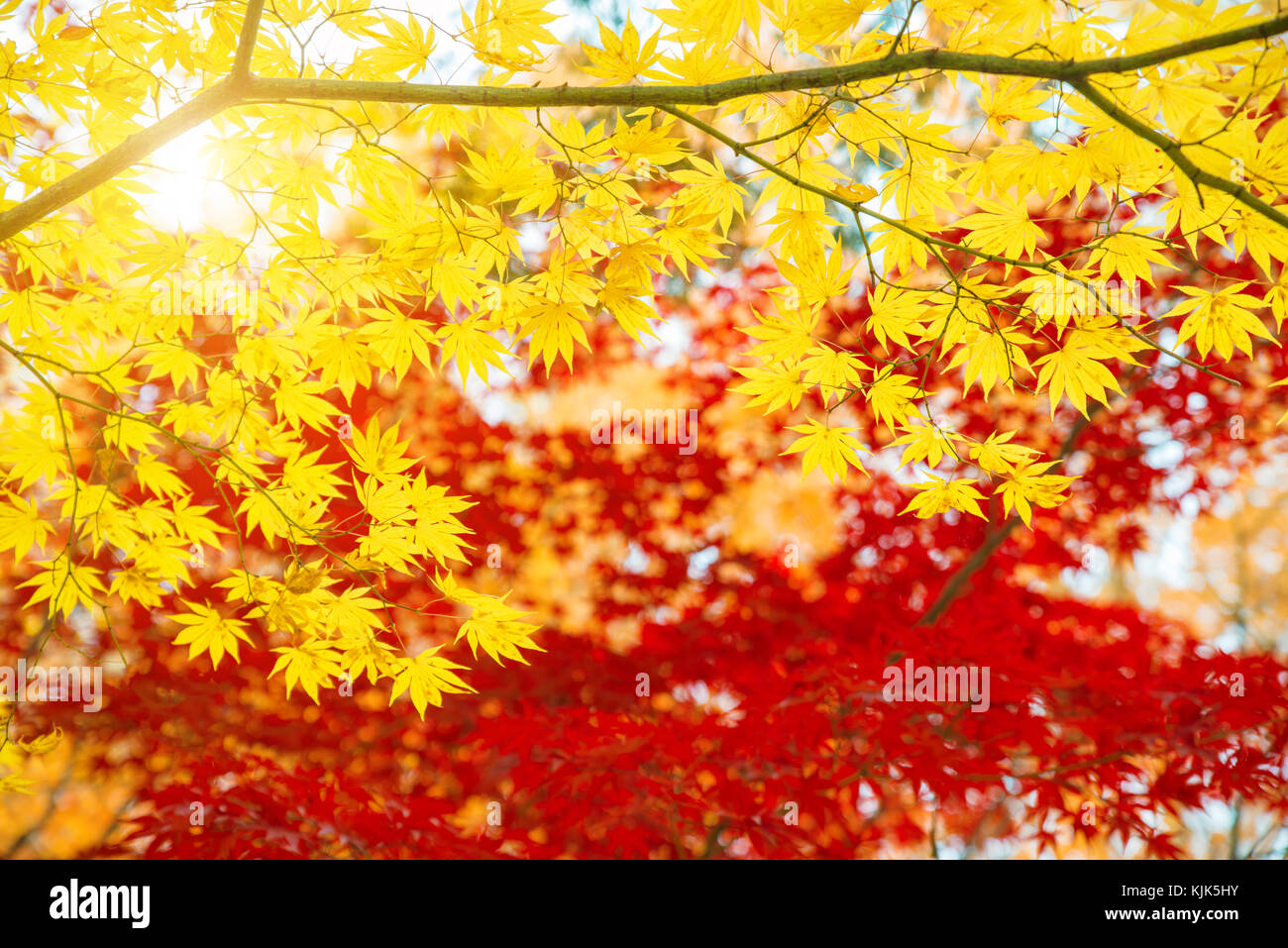 Red and Yellow maple leaves in autumn season with blue sky blurred background, taken from Japan. - Stock Image