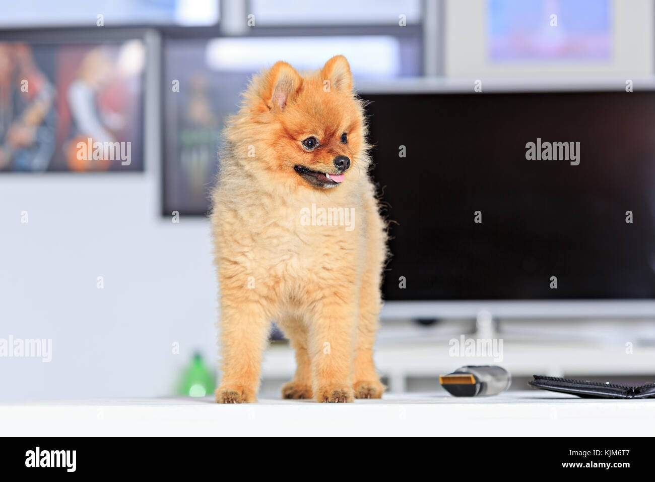 Scenes Of Dog Grooming Salon Life With A Pomeranian Dog Stock Photo