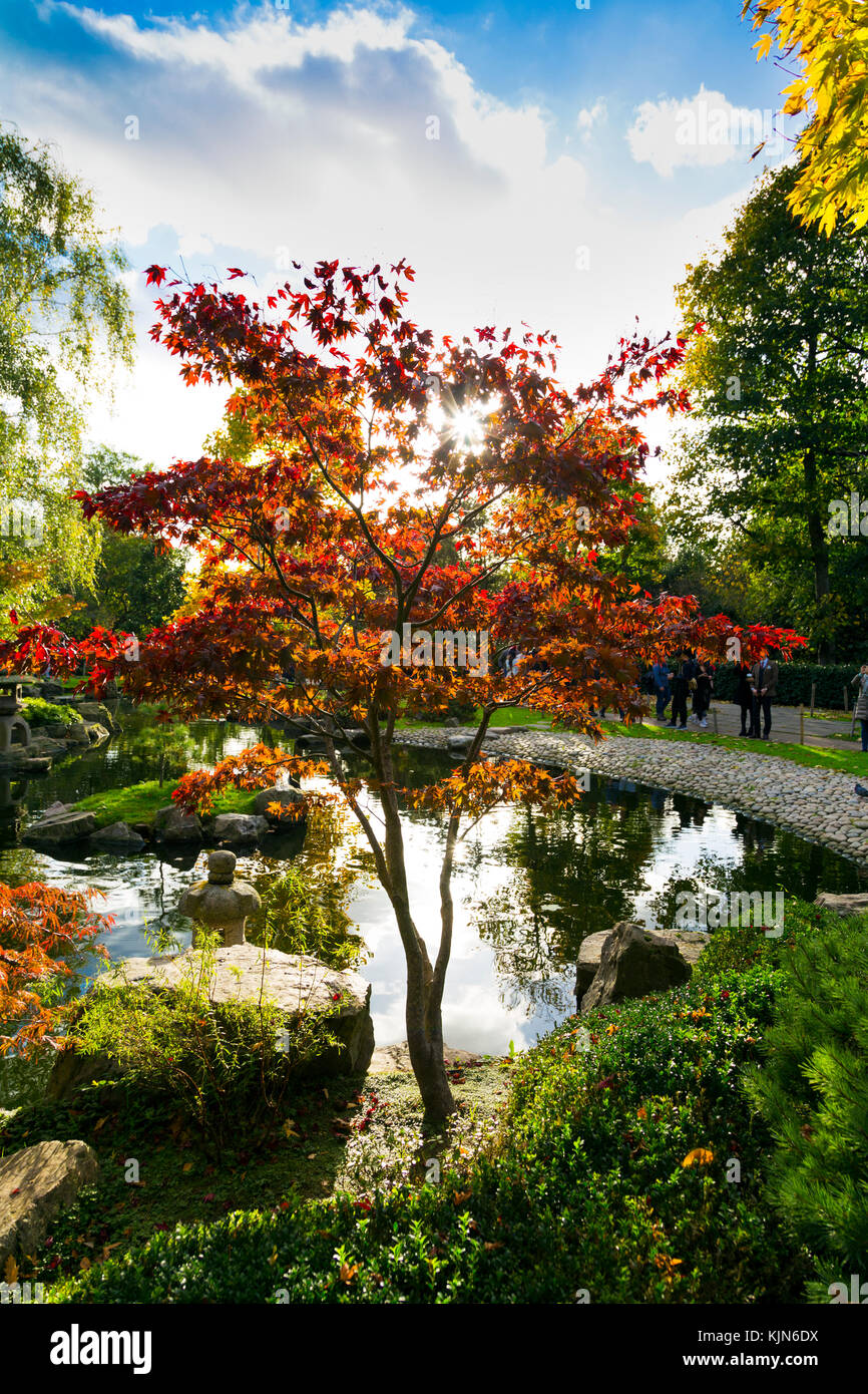 Japanese maple tree, autumn at the Kyoto Garden in Holland Park ...