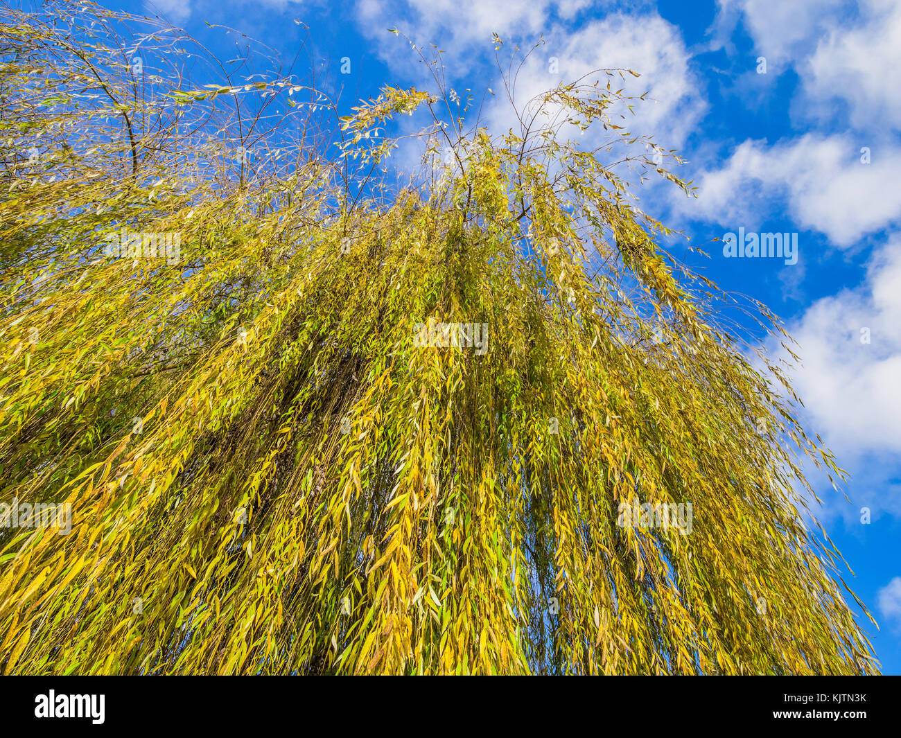 Leaves of Willow tree turning colour in autumn. - Stock Image