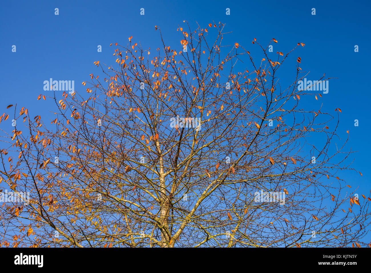 Remaining leaves on Cherry tree in autumn - France. - Stock Image
