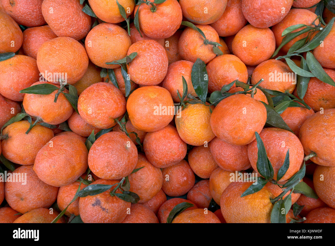 Organic clementines without any surface treatment in Danish supermarket. Notice the wrinkled and somewhat rough - Stock Image