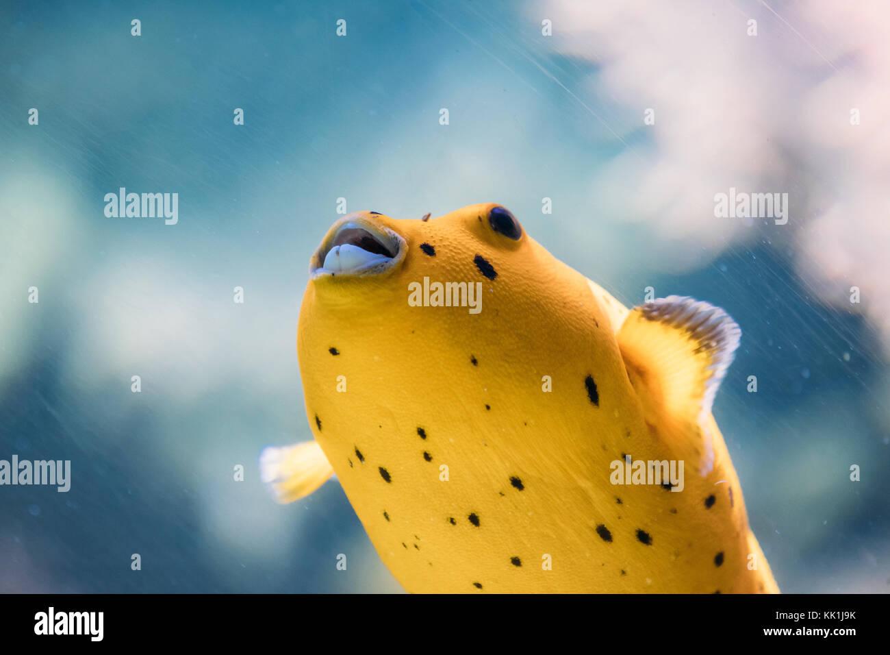 Pufferfish animal stock photos pufferfish animal stock for Water dogs fish